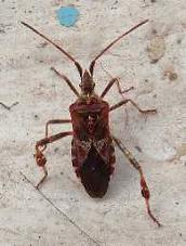 Leptoglossus occidentalis nel comasco for Cimice marrone